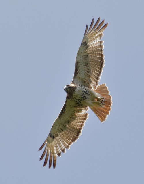 Red-tailed Hawk (jamaicensis)