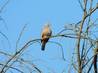 Croaking Ground Dove, ML162750601