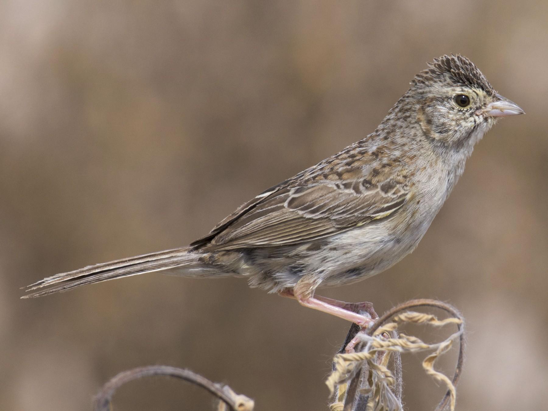 Cassin's Sparrow - Marky Mutchler