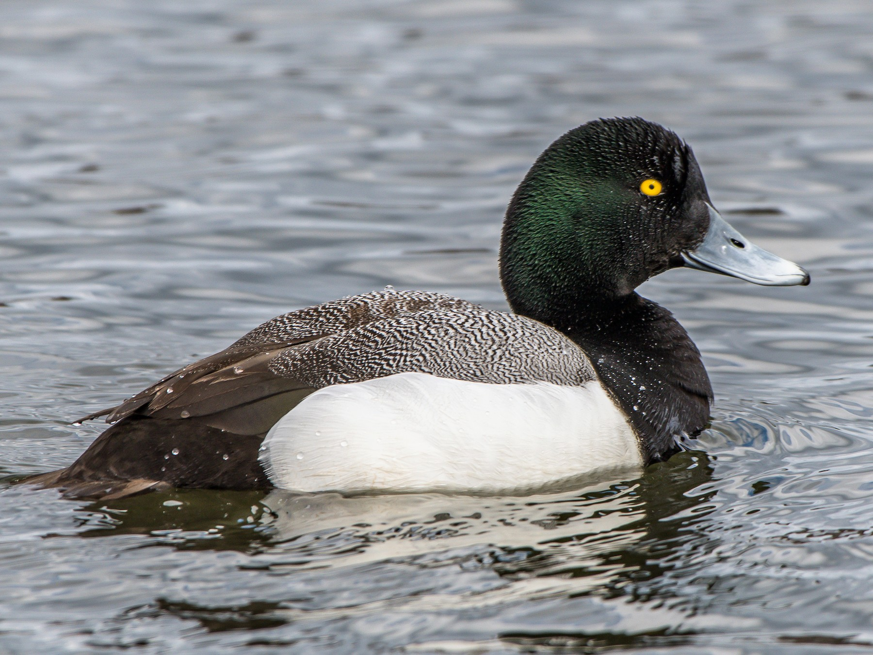 Greater Scaup - Frank King