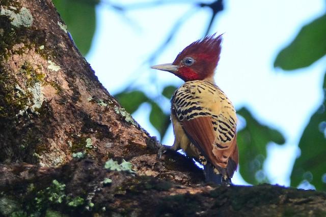 Kaempfer's Woodpecker