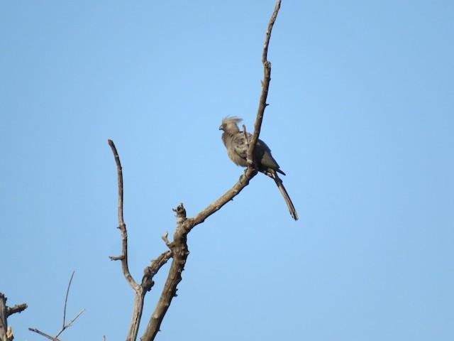 Gray Go-away-bird