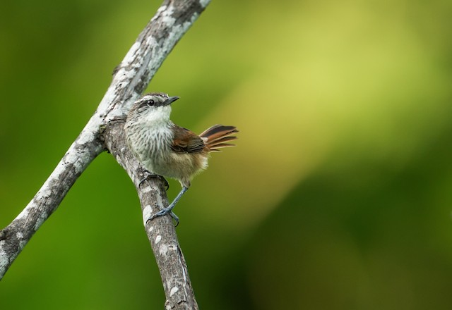 Necklaced Spinetail (Necklaced)