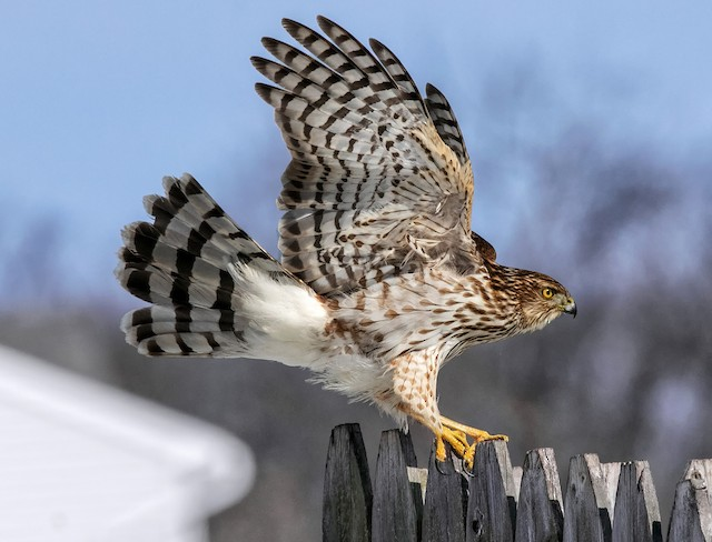 Appearance - Cooper's Hawk - Accipiter cooperii - Birds of the World