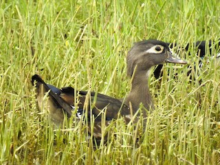 Wood Duck, ML163476911