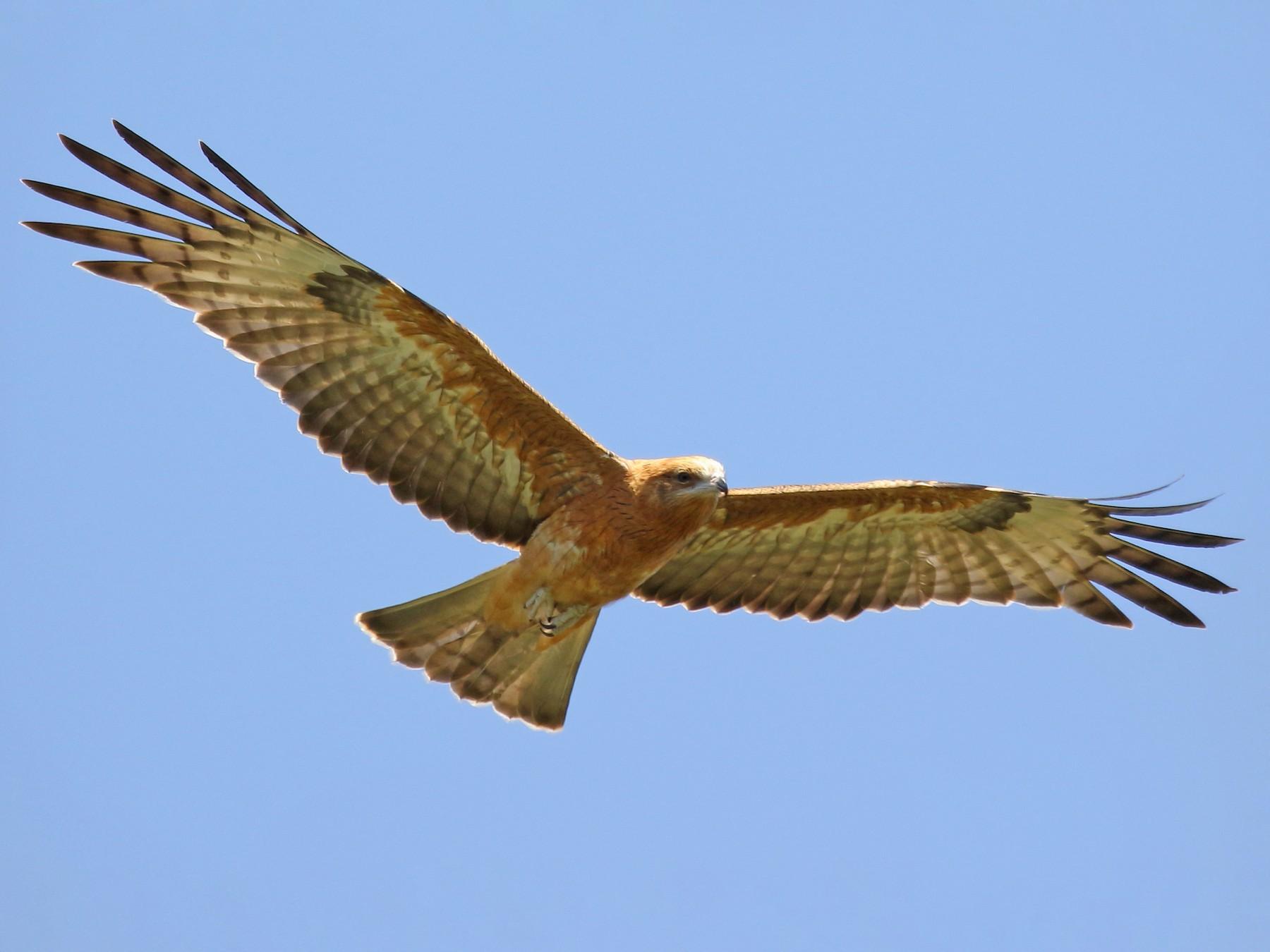 Square-tailed Kite - Michael Rutkowski