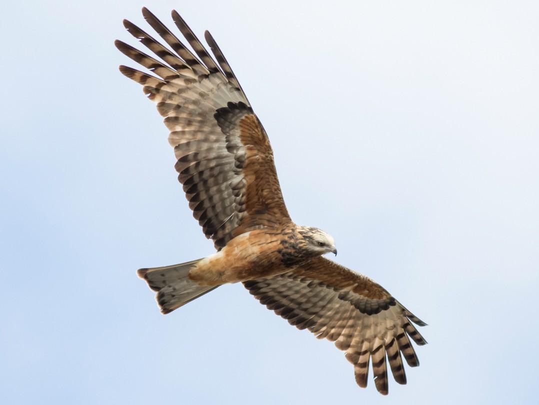 Square-tailed Kite - Tom Johnson