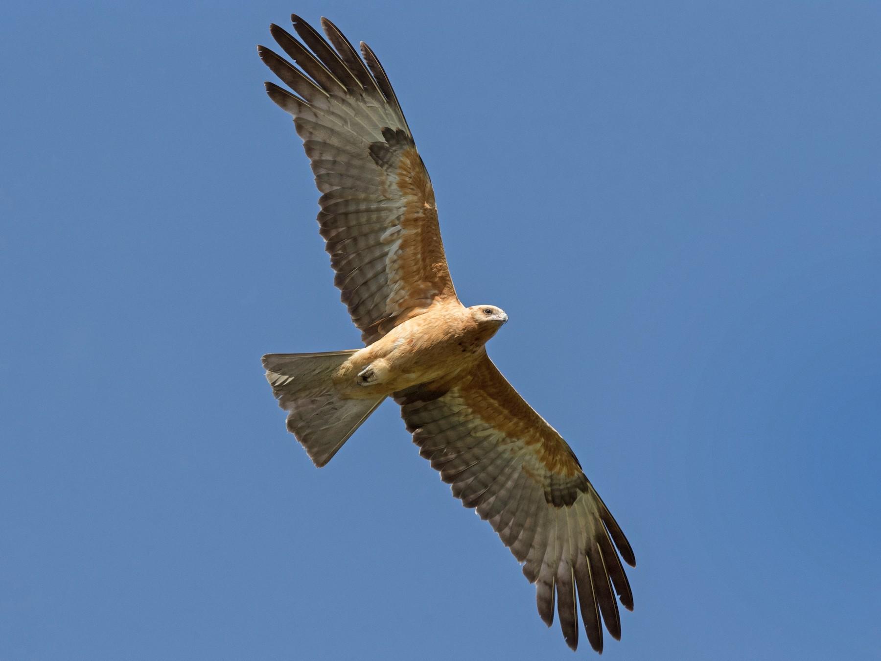 Square-tailed Kite - Chris Barnes