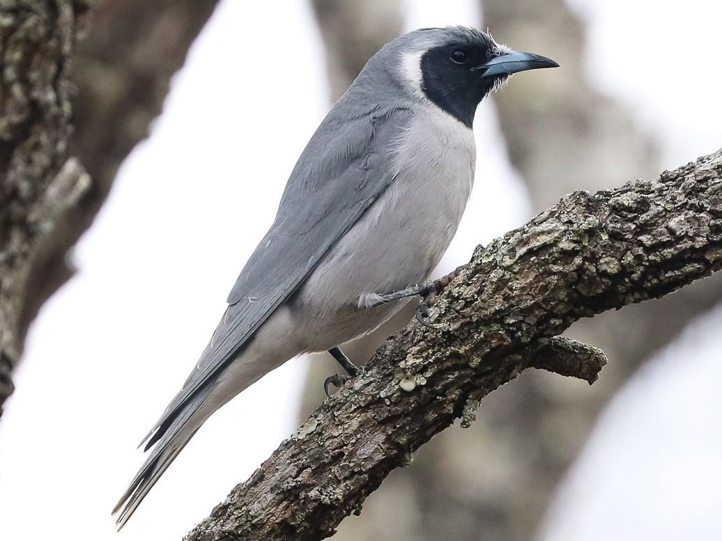 Masked Woodswallow - Ged Tranter