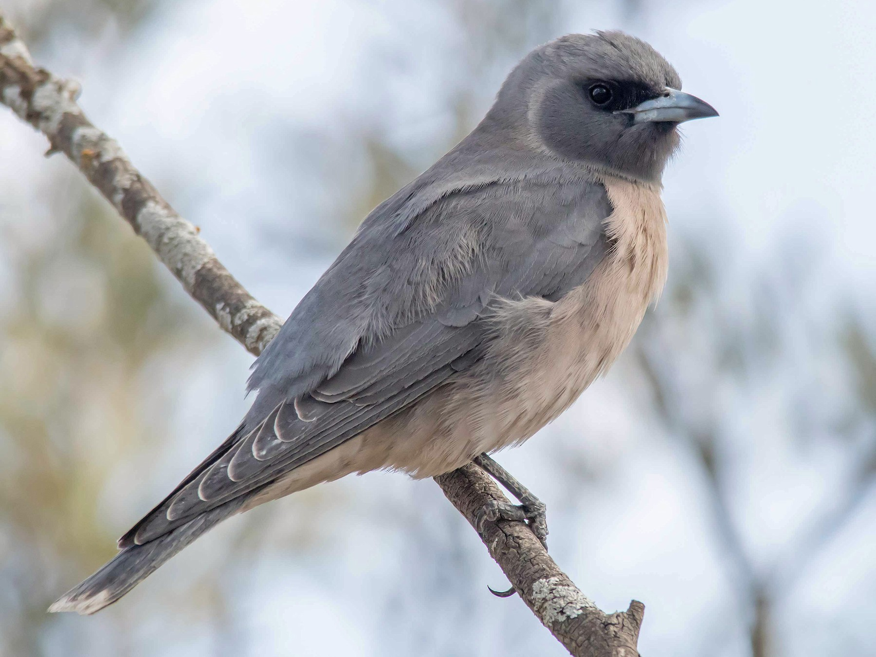 Masked Woodswallow - Andrew Allen
