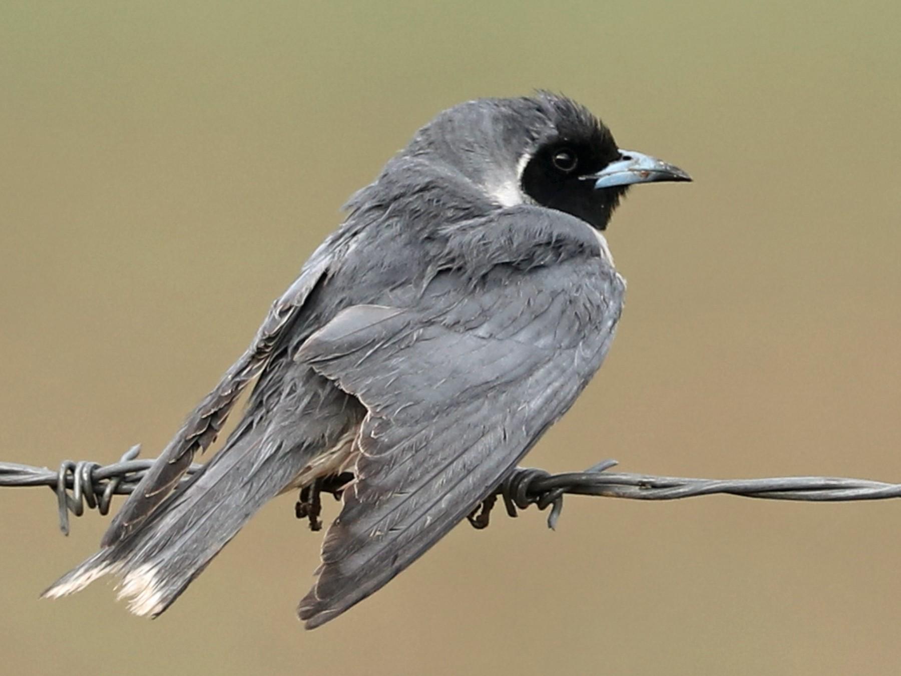 Masked Woodswallow - Cheryl McIntyre
