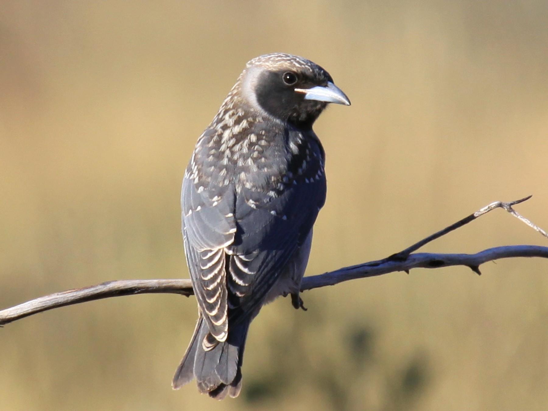 Masked Woodswallow - Margot Oorebeek