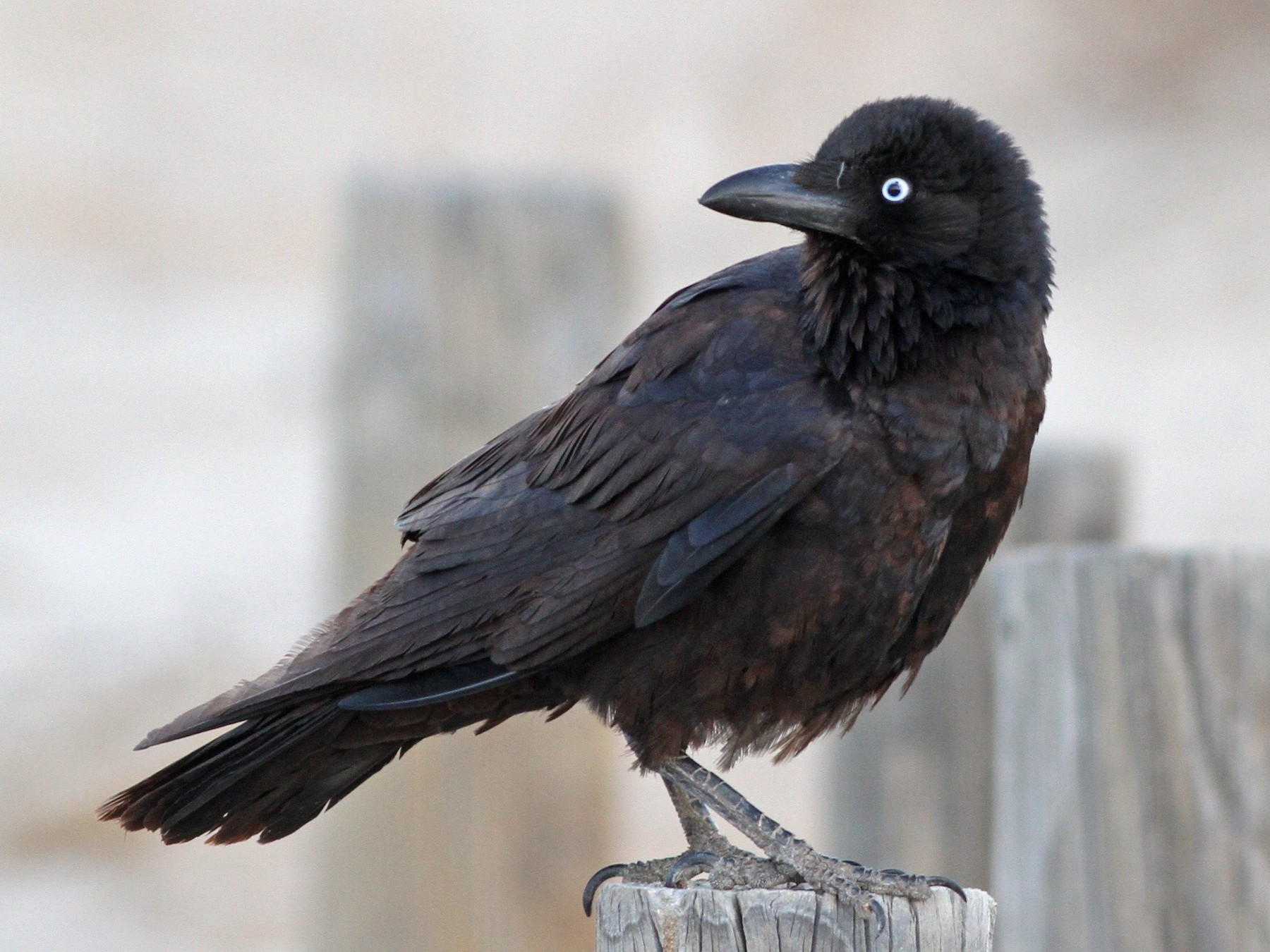 Little Crow - Chris Wiley