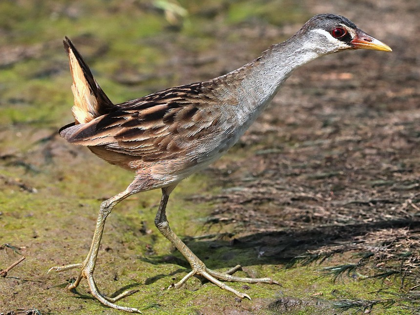 White-browed Crake - Tony Ashton