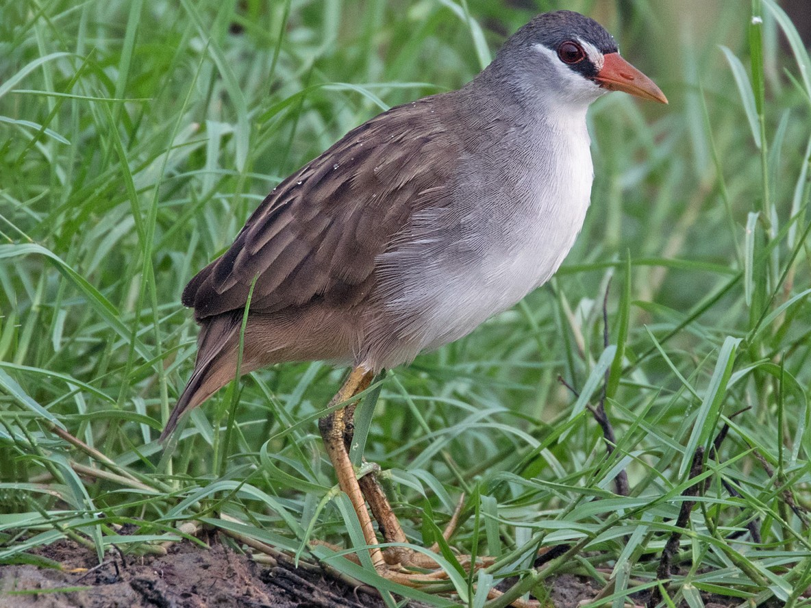 White-browed Crake - Dave Bakewell