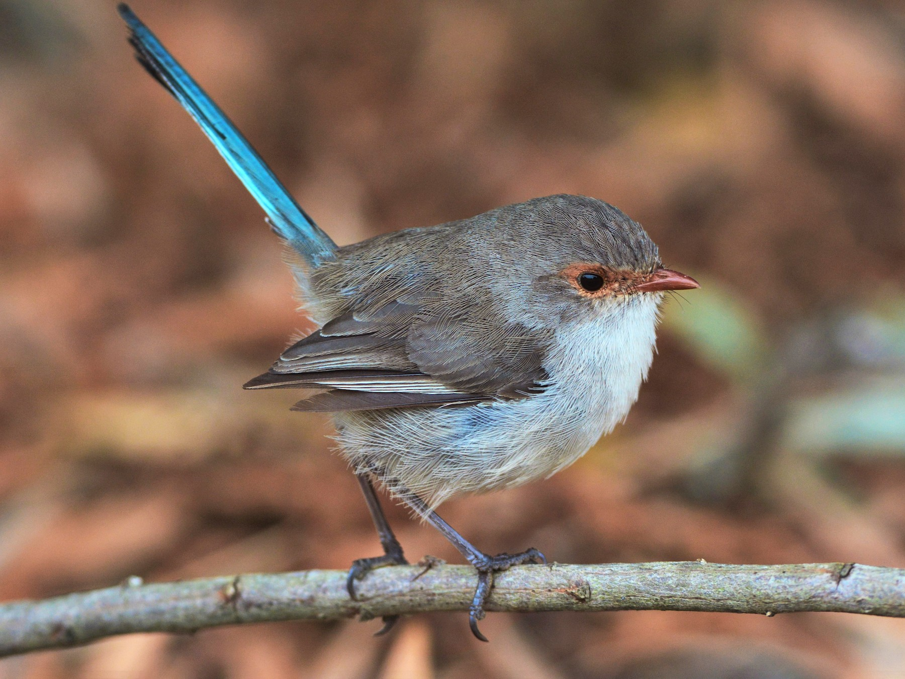 Splendid Fairywren - David Hollie