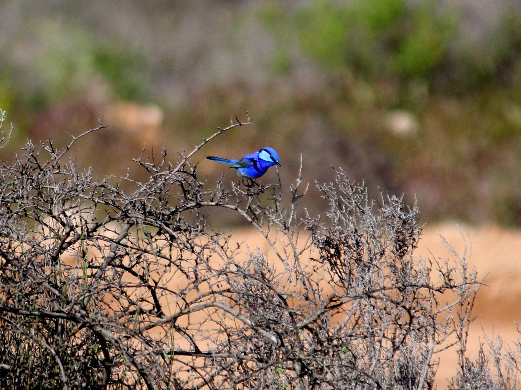 Splendid Fairywren - Philip  Peel