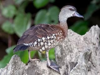 - Spotted Whistling-Duck