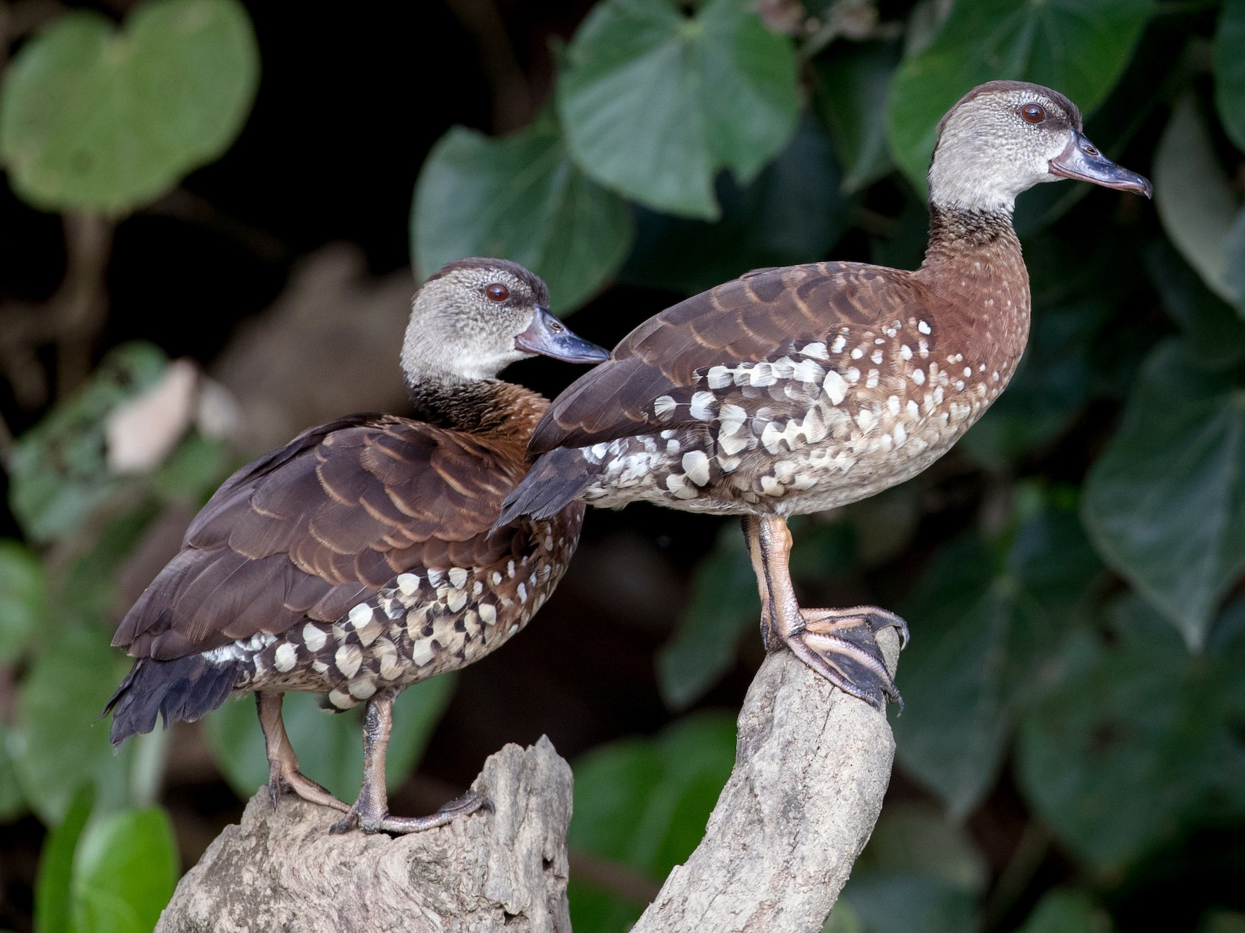 Spotted Whistling-Duck - Ian Davies
