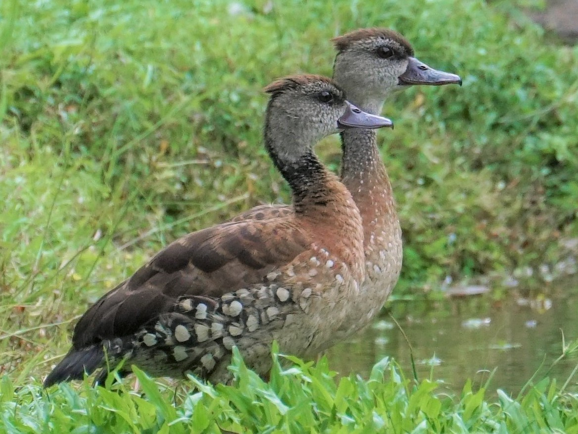 Spotted Whistling-Duck - Bob Bowers