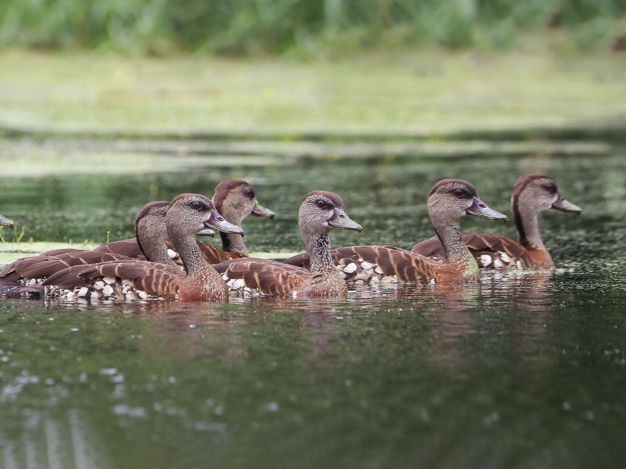 Spotted Whistling-Duck - Ged Tranter