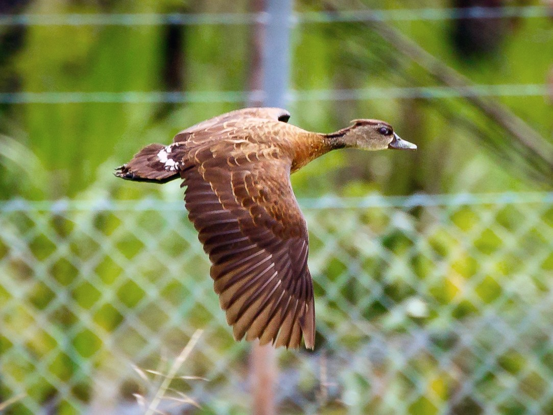 Spotted Whistling-Duck - Luke Shelley