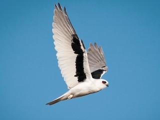 - Letter-winged Kite