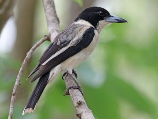 - Silver-backed Butcherbird