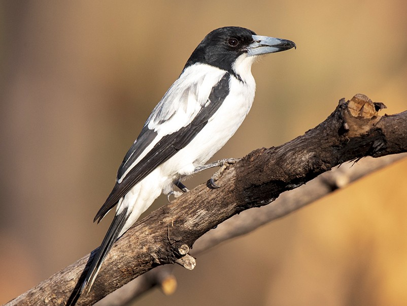 Silver-backed Butcherbird - Laurie Ross | Tracks Birding & Photography Tours