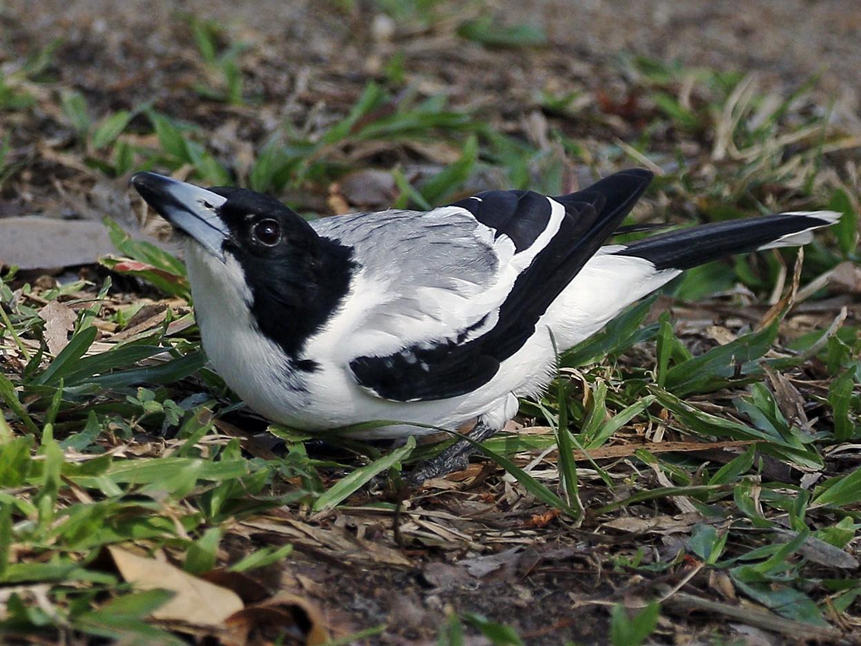 Silver-backed Butcherbird - Kris Bernard