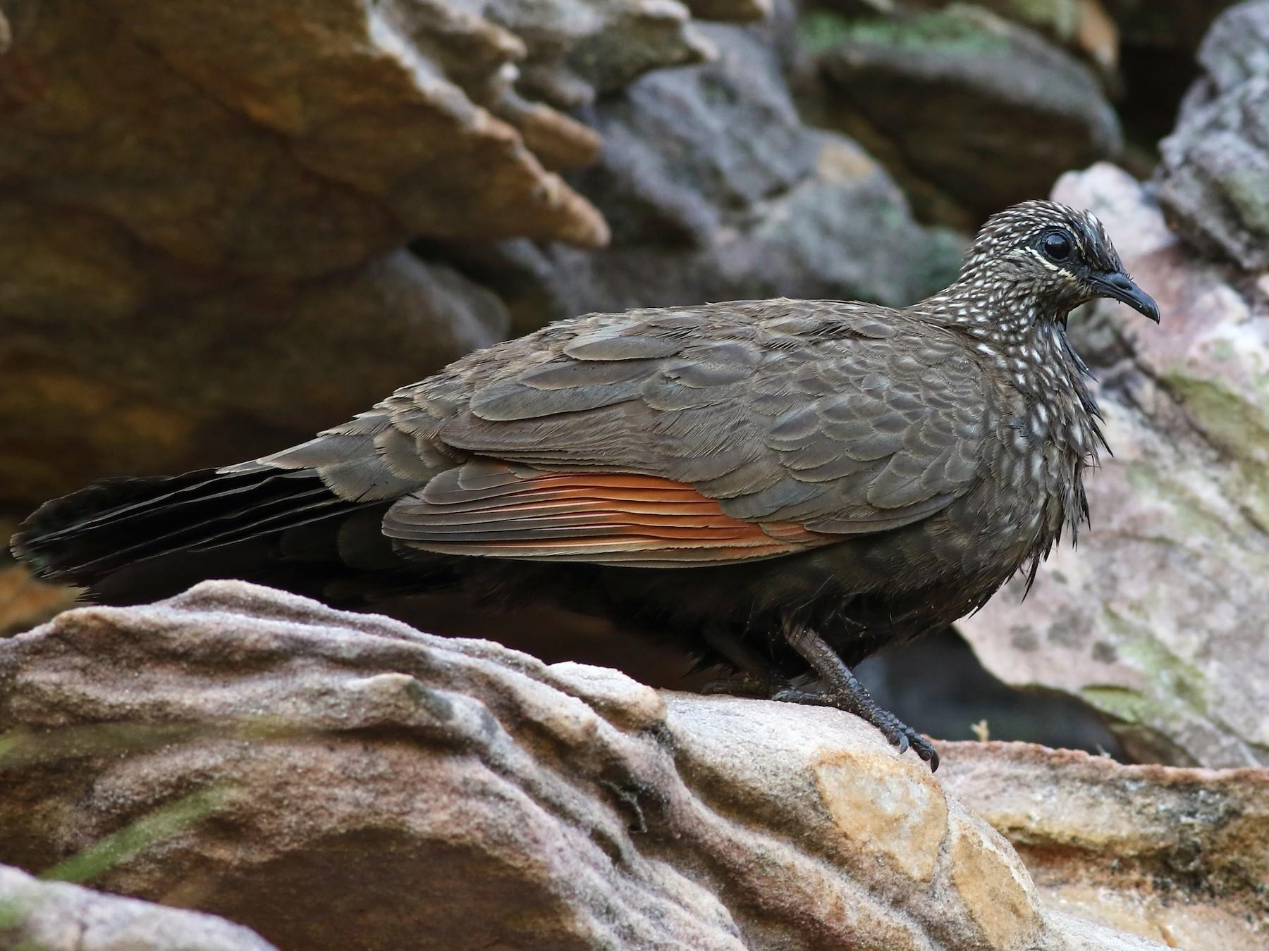 Chestnut-quilled Rock-Pigeon - Nick Bonomo