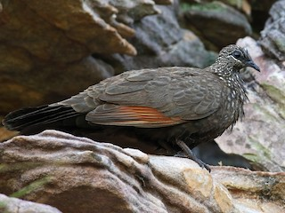 - Chestnut-quilled Rock-Pigeon