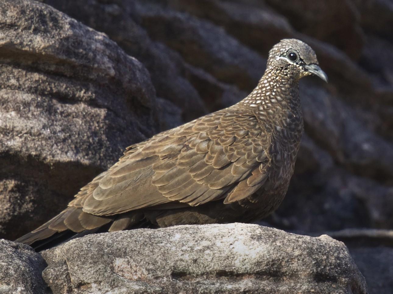 Chestnut-quilled Rock-Pigeon - Mat Gilfedder