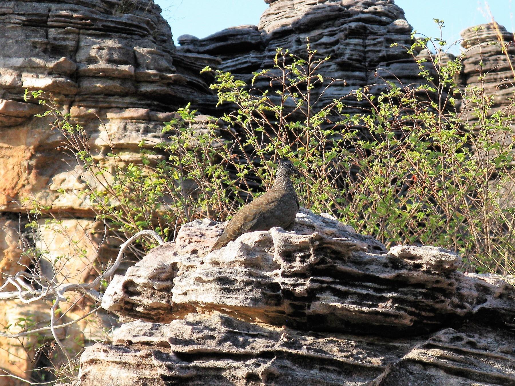 Chestnut-quilled Rock-Pigeon - Rohan van Twest