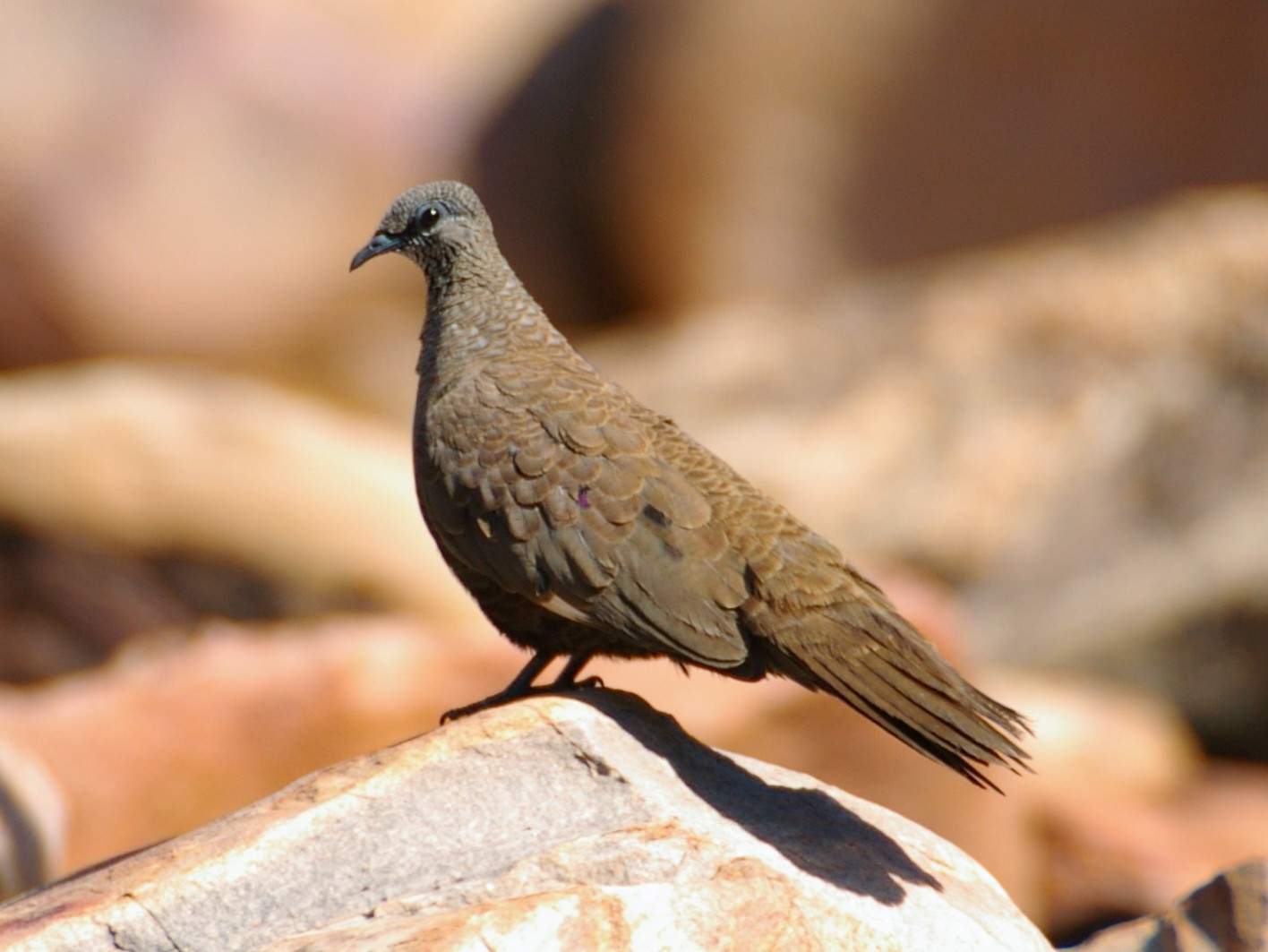 White-quilled Rock-Pigeon - Greg & Jeanette Licence