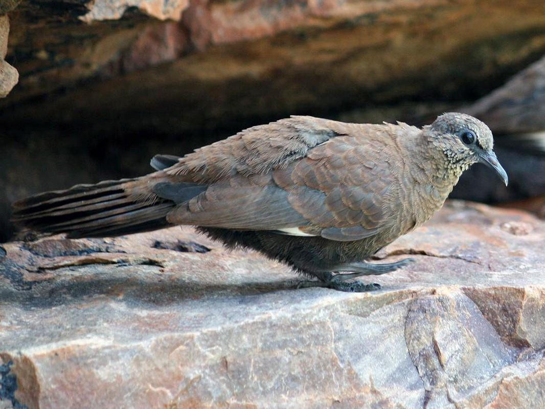 White-quilled Rock-Pigeon - Steven Ashdown