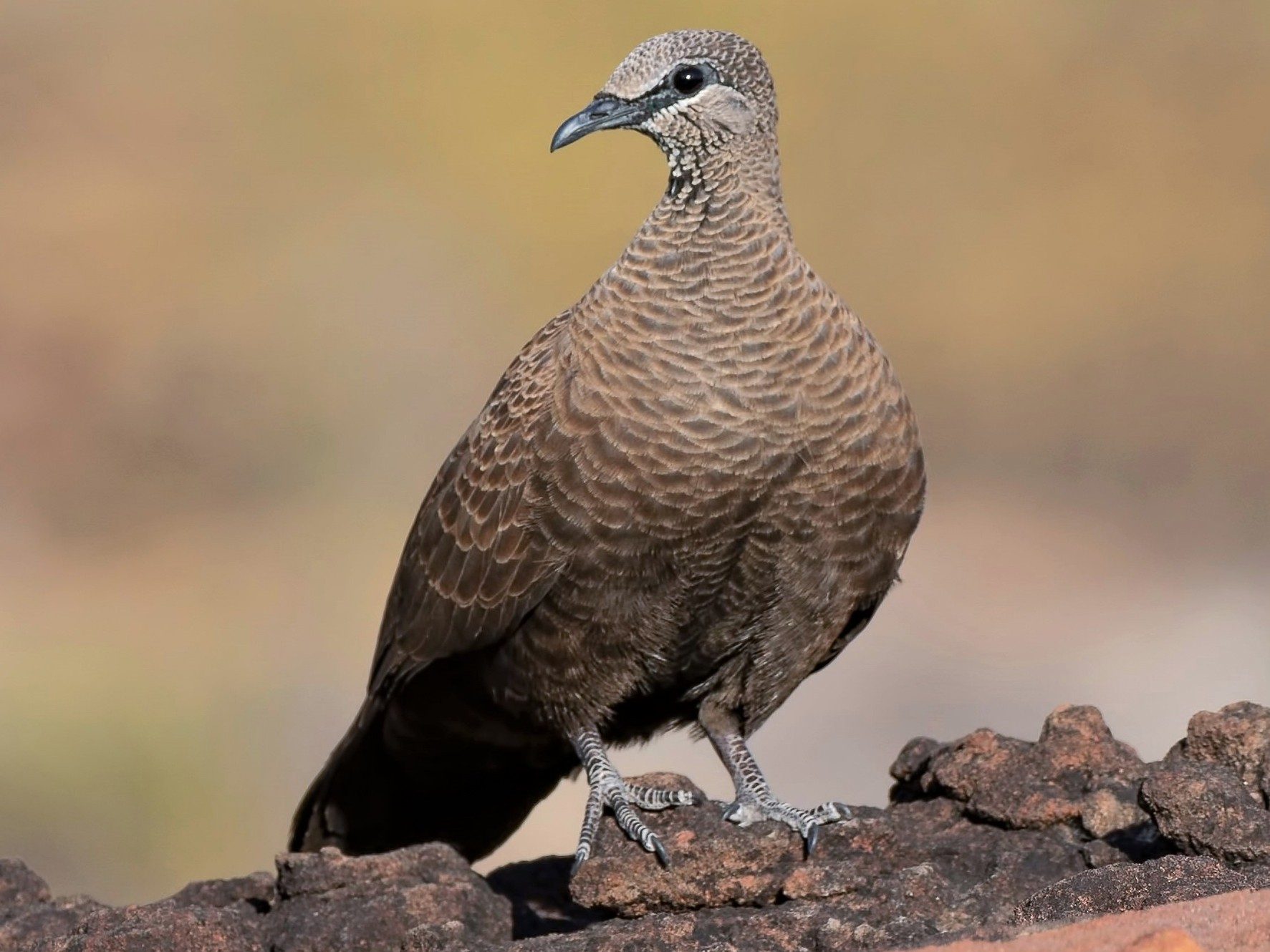 White-quilled Rock-Pigeon - Barry Deacon