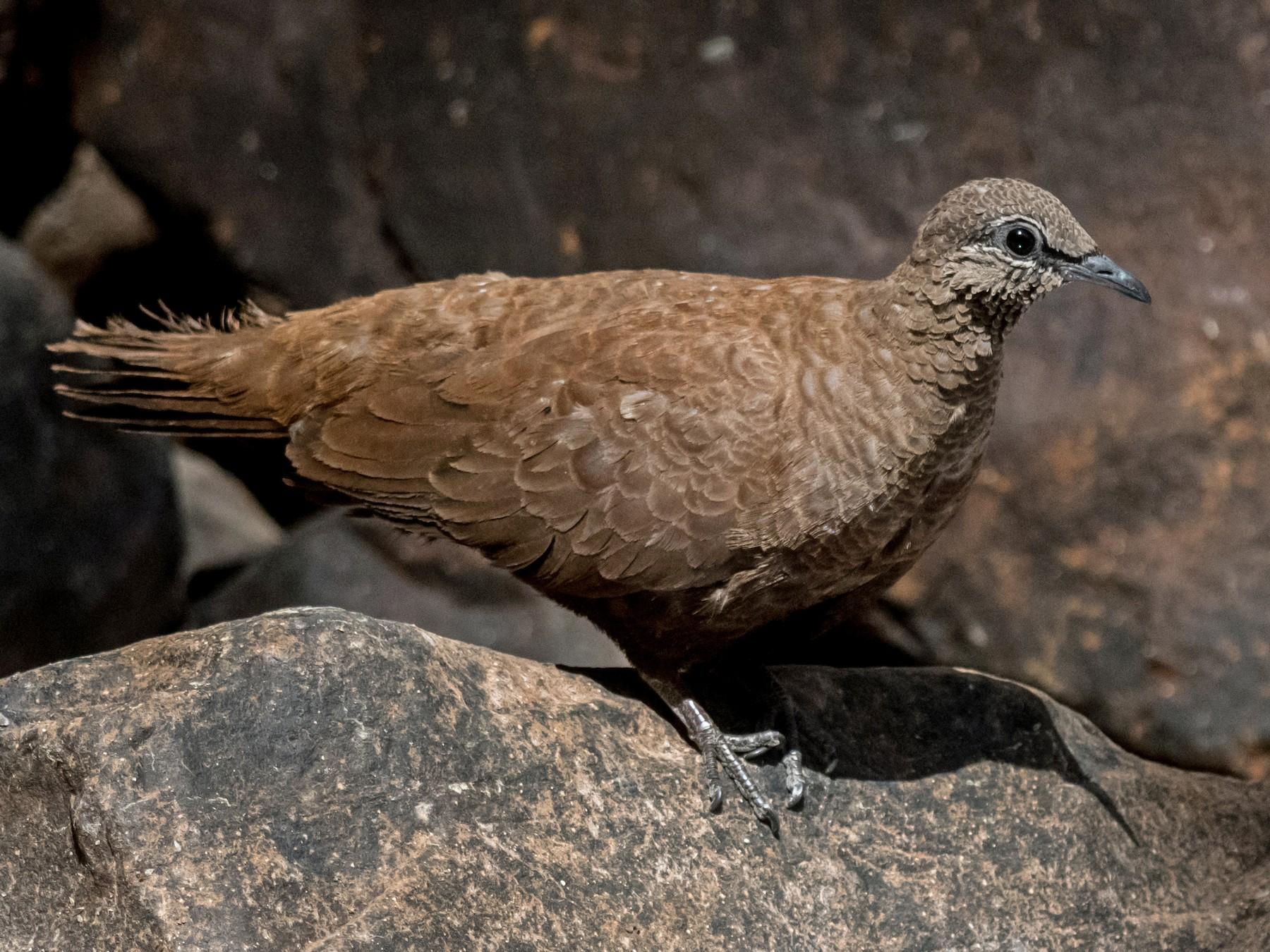 White-quilled Rock-Pigeon - Raphaël Nussbaumer