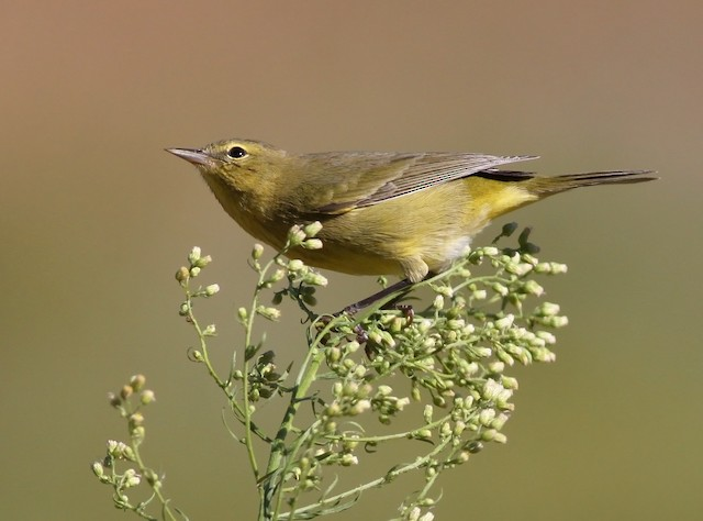 ©Robyn Waayers - Orange-crowned Warbler