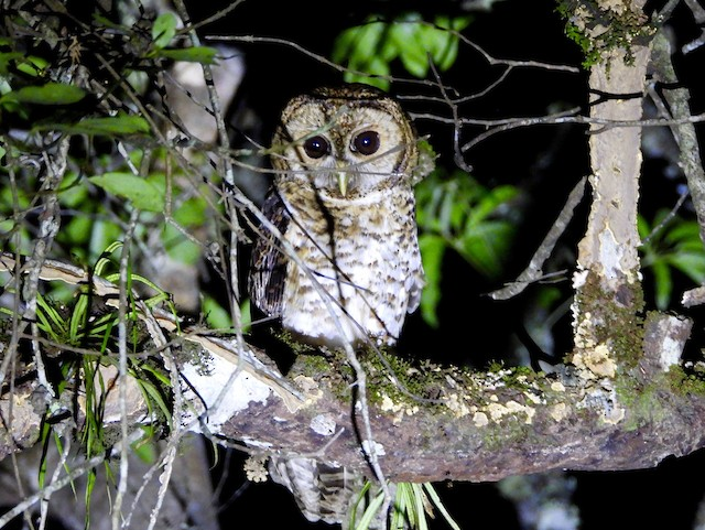 Rusty-barred Owl