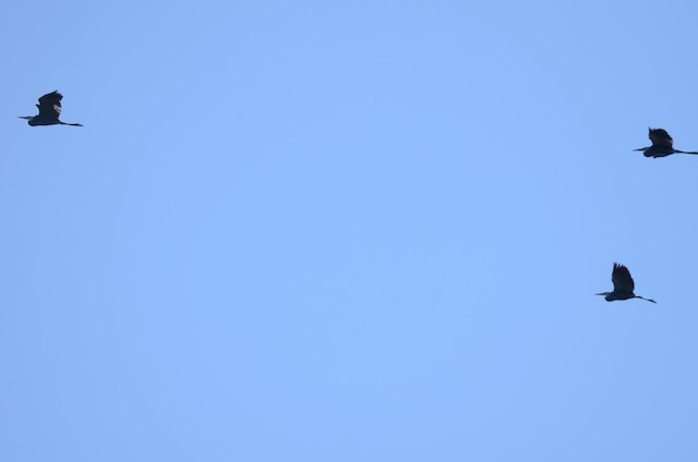 Great Blue Heron (Blue form)