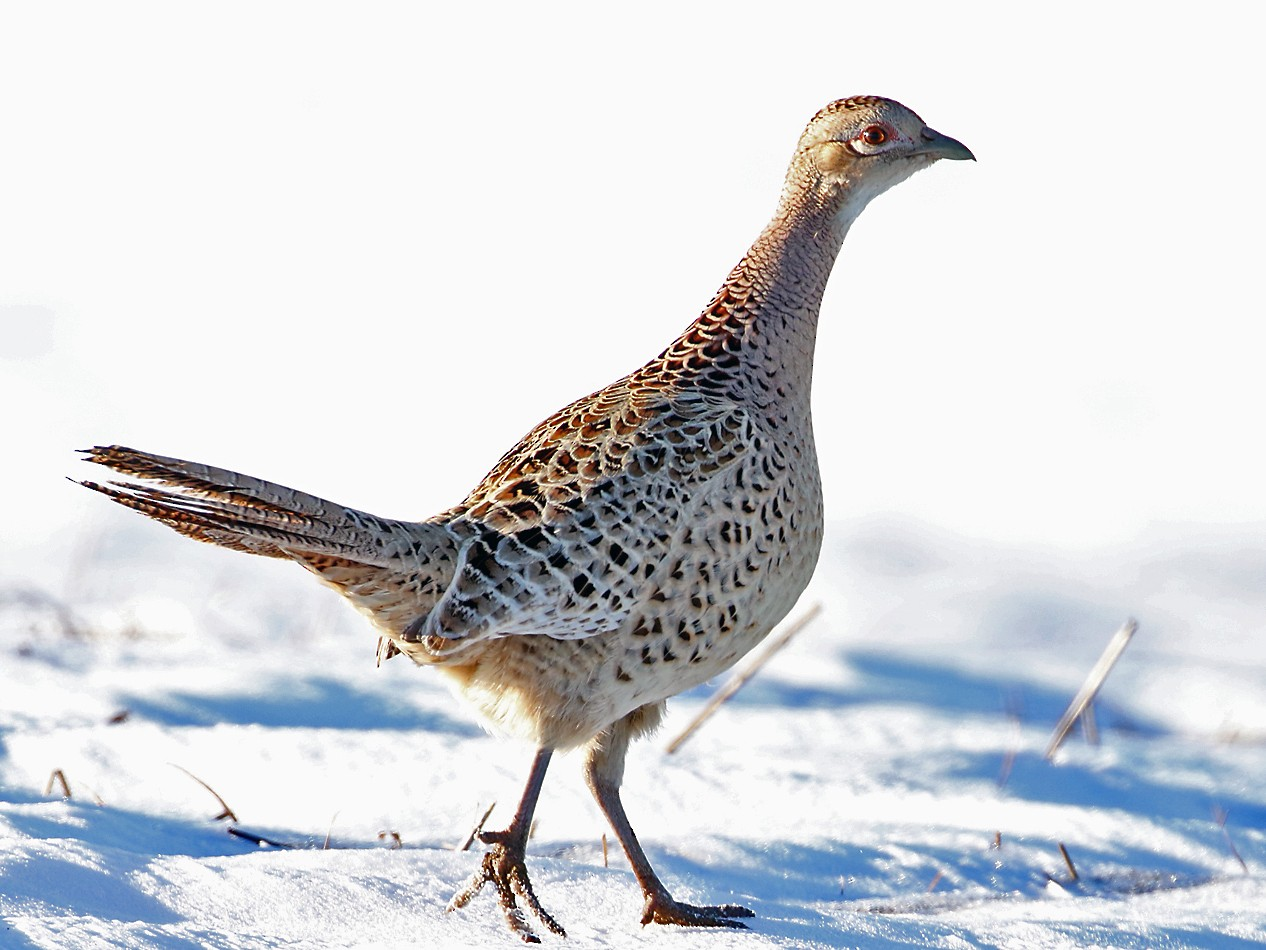 Ring-necked Pheasant - Marlene Cashen
