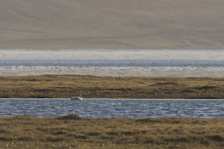 Tundra Swan, ML163980621