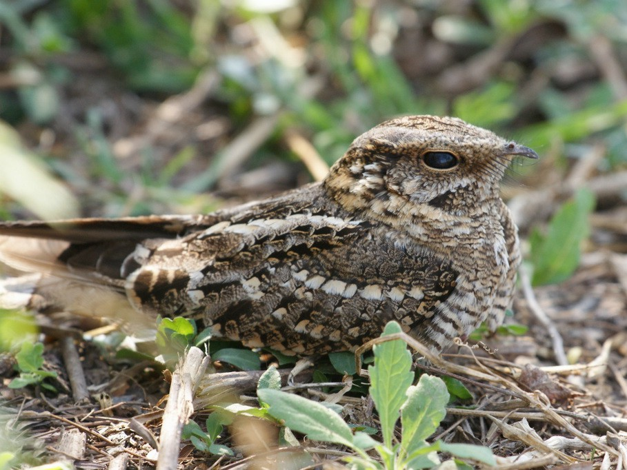 Scissor-tailed Nightjar - Ricardo  Doumecq Milieu