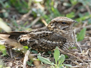 - Scissor-tailed Nightjar