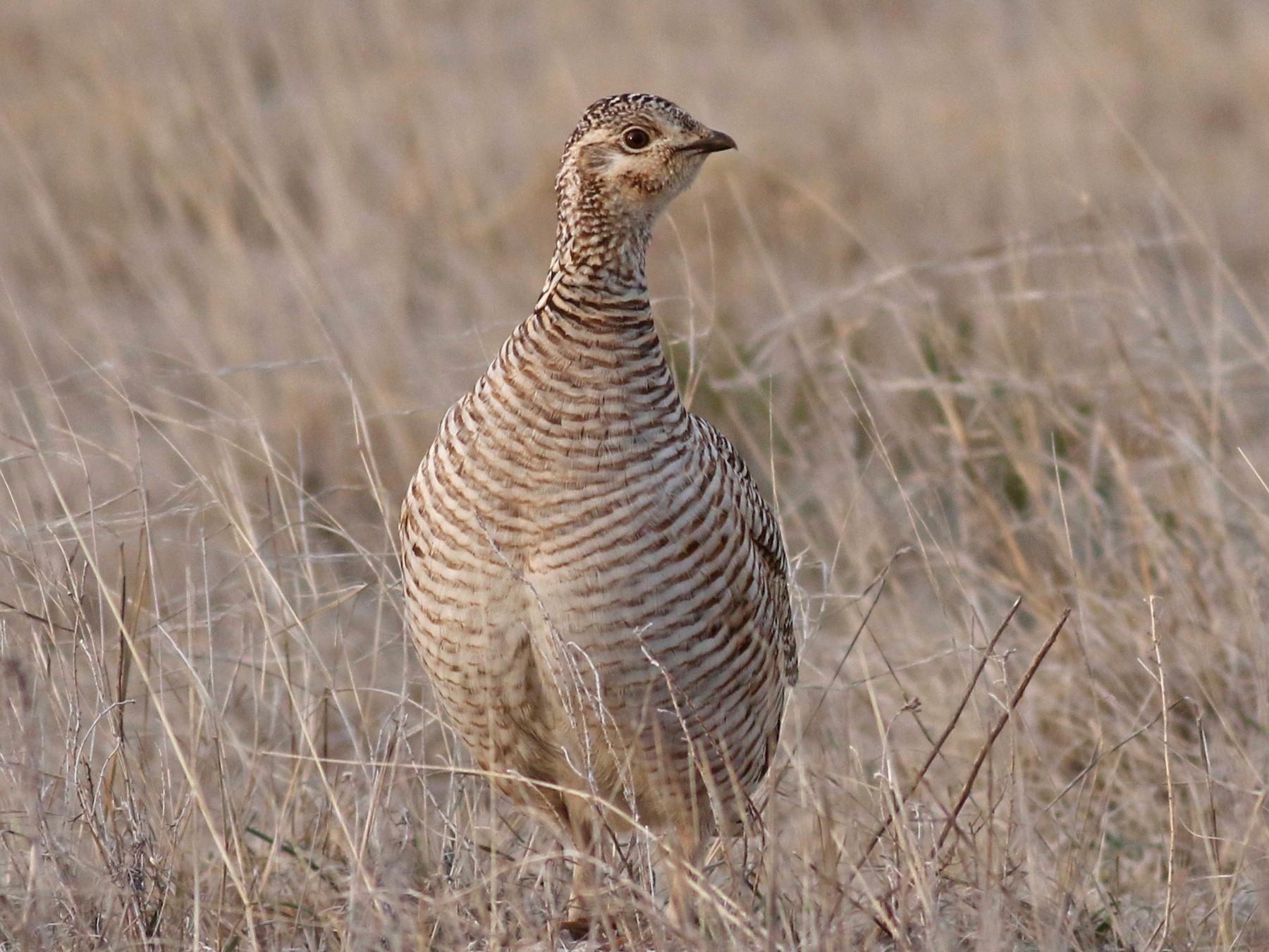 Lesser Prairie-Chicken - Zach Millen