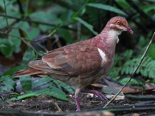 - Ruddy Quail-Dove