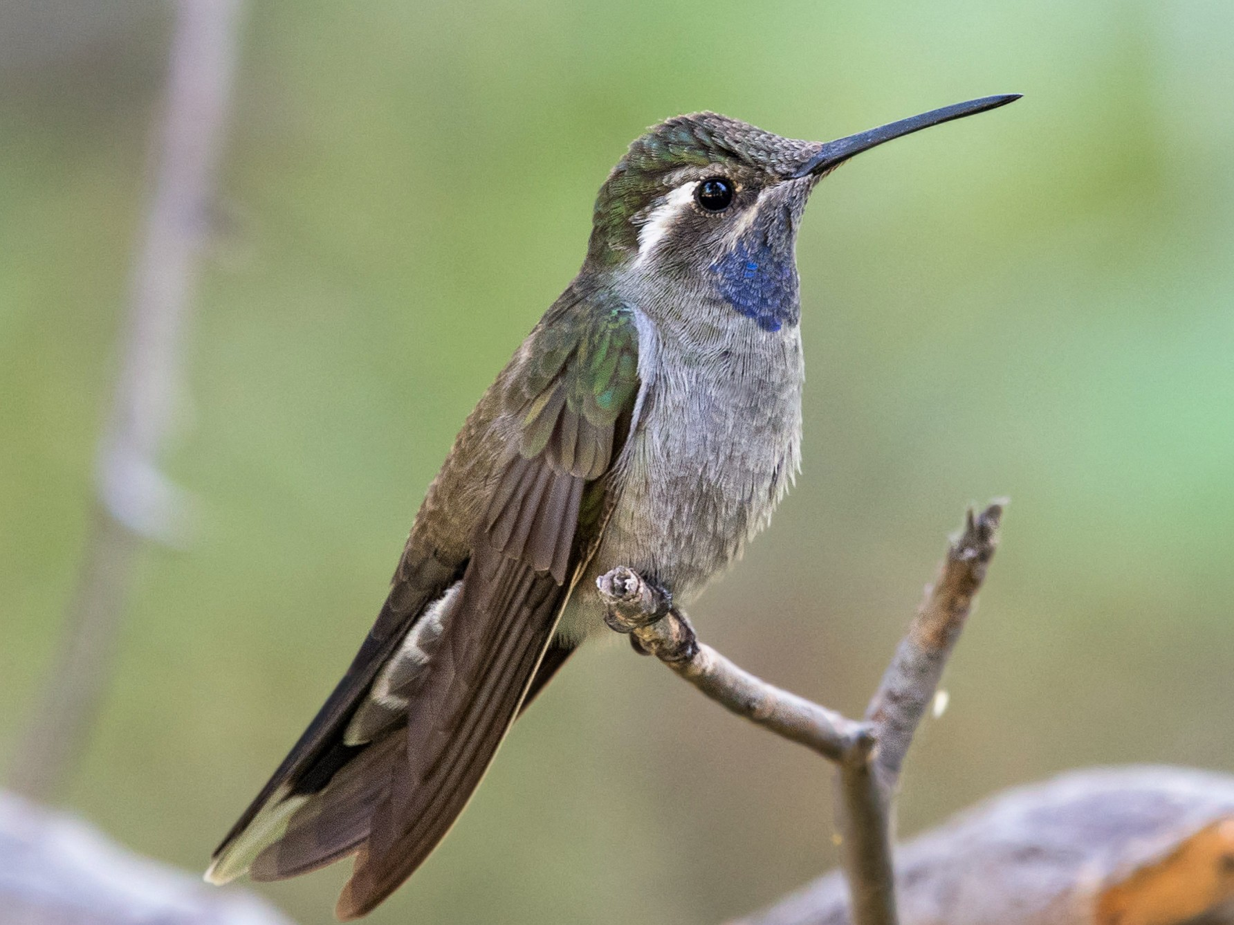 Blue-throated Mountain-gem - Graham Gerdeman