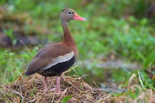 Black-bellied Whistling-Duck, ML164519541