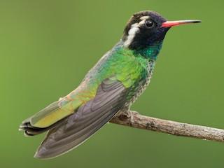 - White-eared Hummingbird